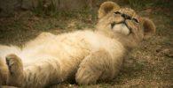 magenes bebe de leon leona leones leonas