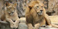 magenes de leon leona leones leonas