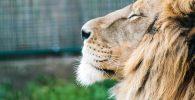 imagenes espectaculares de leon leona leones leonas