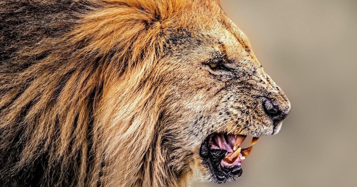 imagenes fotos de leones animados espectaculares salvajes leonas bebe
