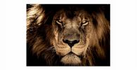 cuadro lienzo poster tapiz lamina leones leonas laminas