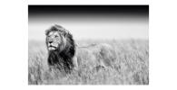 cuadro lienzo poster tapiz lamina leones leonas poster