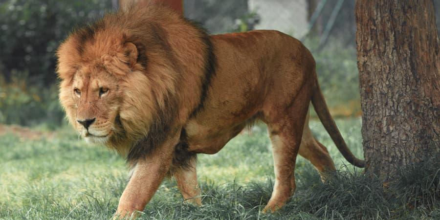 anatomia de leon