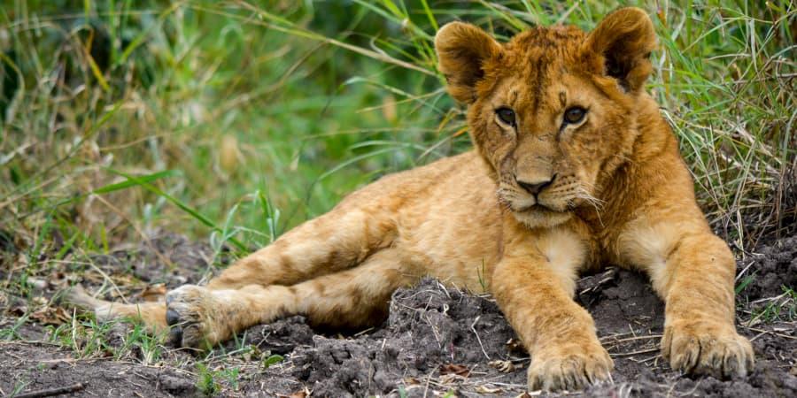 cachorro cria bebe leon leona