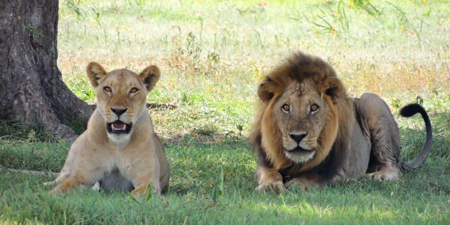 habitat leon leones leonas leona