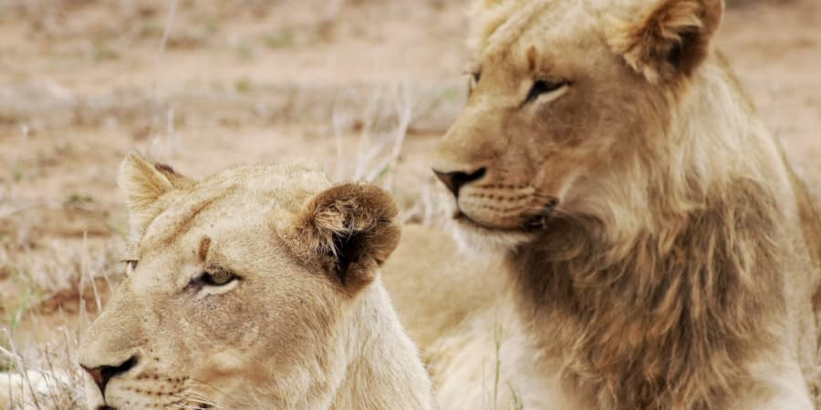 jovenes leones leonas
