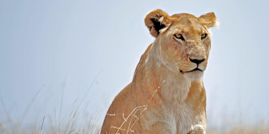 la leona hembra