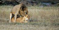 reproduccion de los leones leonas leon leona